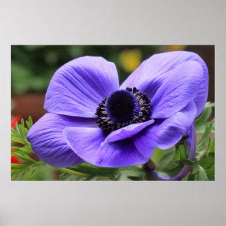 紫色のアネモネ ポスター