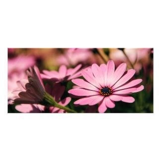 紫色のアフリカデイジー ラックカード