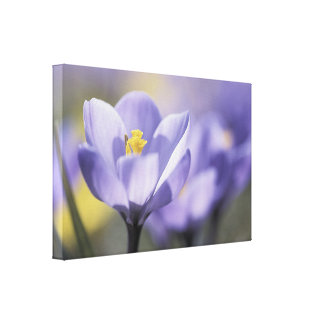 紫色のクロッカスの花のキャンバスのプリント キャンバスプリント