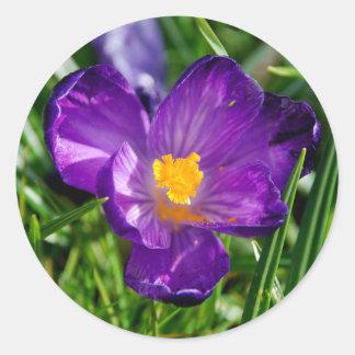 紫色のクロッカスの花 ラウンドシール