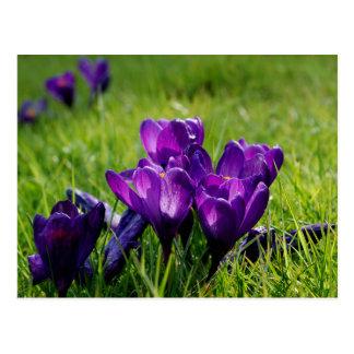 紫色のクロッカス ポストカード