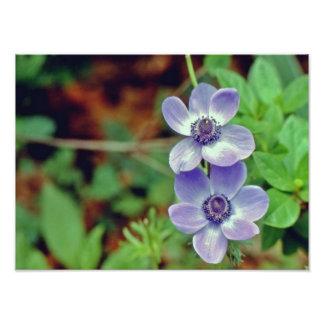 紫色のパンジー フォトプリント