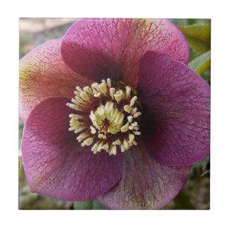 紫色のヘレボルスの花 タイル