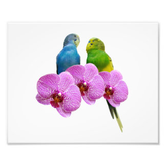 紫色の蘭とのBudgie フォトプリント