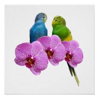 紫色の蘭とのBudgie ポスター