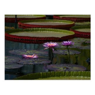 紫色の《植物》スイレンのはす はがき