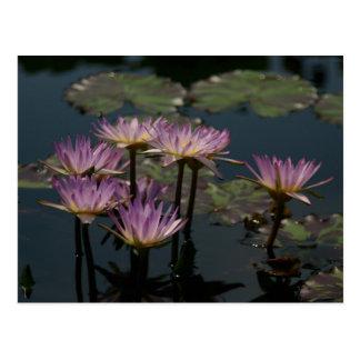 紫色の《植物》スイレンのはす ポストカード