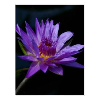 紫色の《植物》スイレンのはす 葉書き