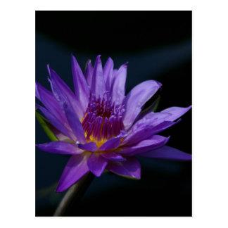 紫色の《植物》スイレン はがき