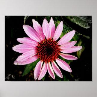 紫色のConeflower ポスター