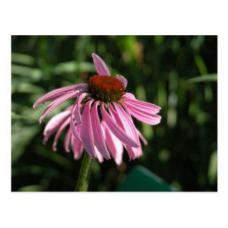 紫色のConeflower ポストカード