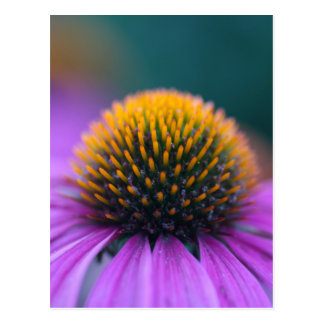 紫色のconeflower (Echinaceaのpurpurea) ポストカード