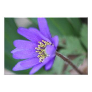 紫色のWindflower フォトプリント