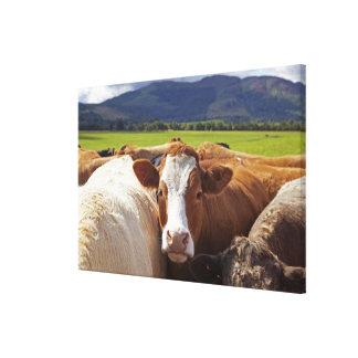 組のの分野の牛のポートレート キャンバスプリント