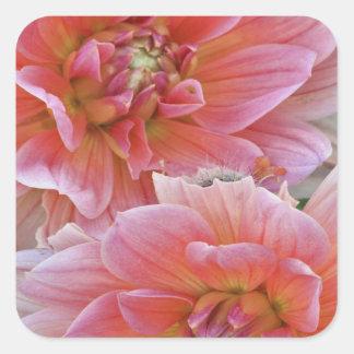 組のダリアの花、ダリアspp.、 スクエアシール