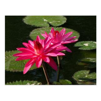 組のピンクのスイレンの郵便はがき#4Nw 0440 ポストカード