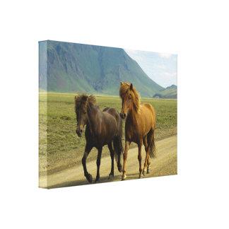 組のブラウンのアイスランド人の子馬 キャンバスプリント