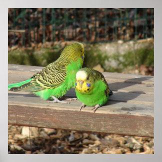 組の木のベンチの緑のBudgies ポスター