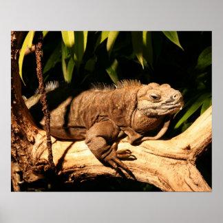 絶滅寸前のジャマイカのイグアナ、Cycluraのcollei ポスター