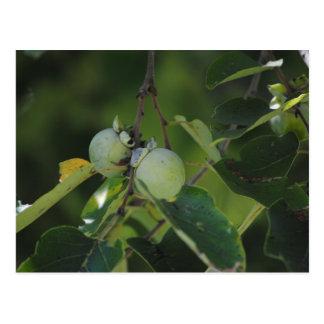 緑の柿 ポストカード