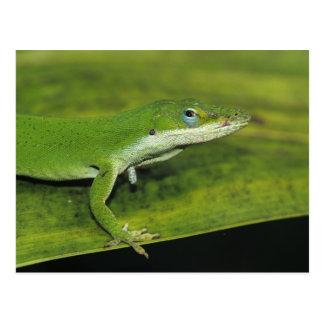 緑のAnoleのAnolisのcarolinensis、やしの大人 ポストカード