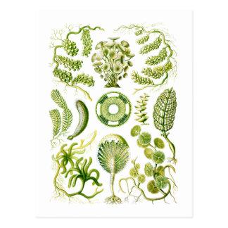 緑藻類 ポストカード