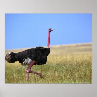 繁殖の羽、Struthioのオスのだちょう ポスター