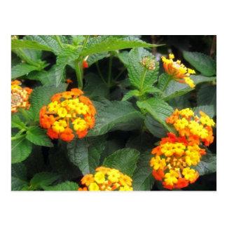美しいオレンジおよび黄色のLantana 1 ポストカード