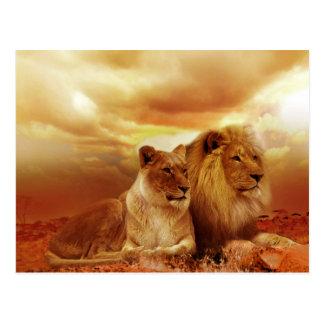 美しいライオンのカップルの郵便はがき ポストカード
