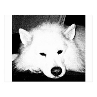 美しい毛皮で覆われたSamoyedの白犬 ポストカード
