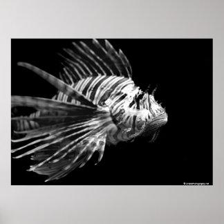 美しい白黒ミノカサゴ ポスター