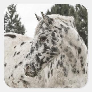 美しい白黒Appaloosaの馬 スクエアシール
