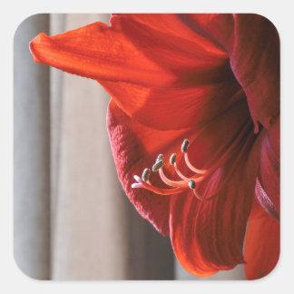 美しく赤いライオンのアマリリスの花 スクエアシール