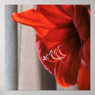 美しく赤いライオンのアマリリスの花 ポスター