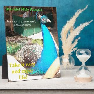 美しく青い男性の孔雀の納屋のイーゼル フォトプラーク