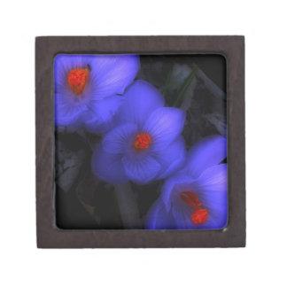 美しく青い紫色のクロッカスの開花 ギフトボックス