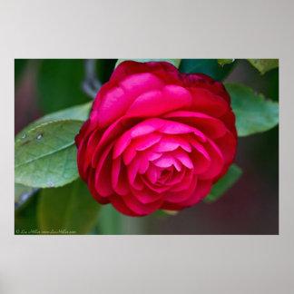 美しく鮮やかで赤いツバキポスター ポスター