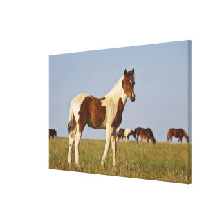 群れが付いている野生の馬のEquusのcaballusの)子馬 キャンバスプリント