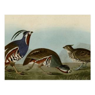 羽毛をつけられた及び厚脚のヤマウズラ ポストカード