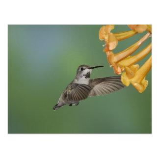肋骨のハチドリ、若いCalypteの肋骨 ポストカード