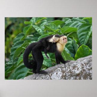 背部のベビーを運んでいる大人のCapuchin猿 ポスター
