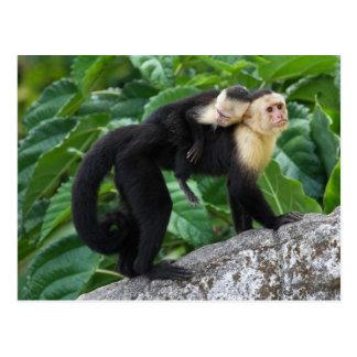 背部のベビーを運んでいる大人のCapuchin猿 ポストカード