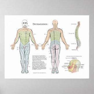 背骨のDermatomesポスターカイロプラクティック ポスター