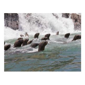 腕時計に水に引き付けられるアシカ はがき