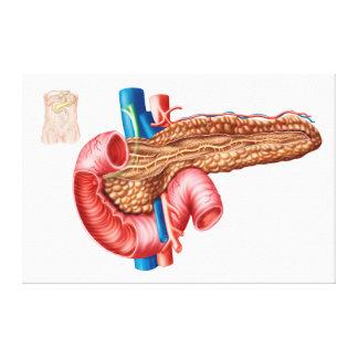 膵臓の解剖学 キャンバスプリント