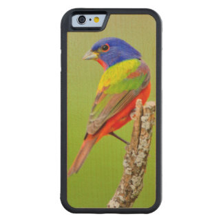色彩の鮮やかな旗布(Passerinaのciris)の男性はとまりました CarvedメープルiPhone 6バンパーケース