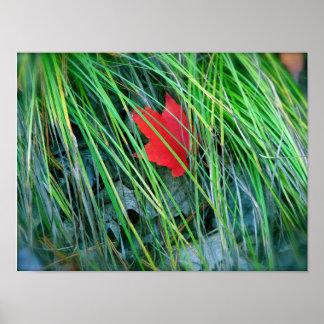 芝生のアメリカハナノキ ポスター
