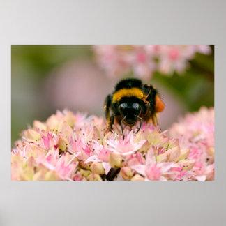 花で食べ物を与える《昆虫》マルハナバチ ポスター