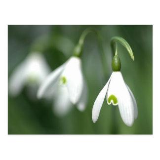 花のギフトのコレクションからのsnowdrop、 ポストカード