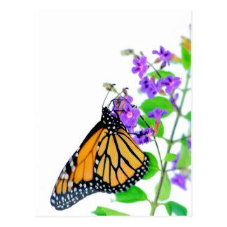 花の(昆虫)オオカバマダラ、モナーク ポストカード